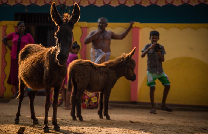Osły i ludzie żyją ramię w ramię na wyspie Mannar